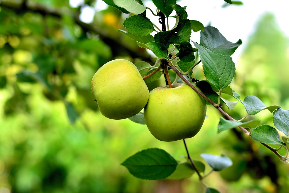 Etna apples