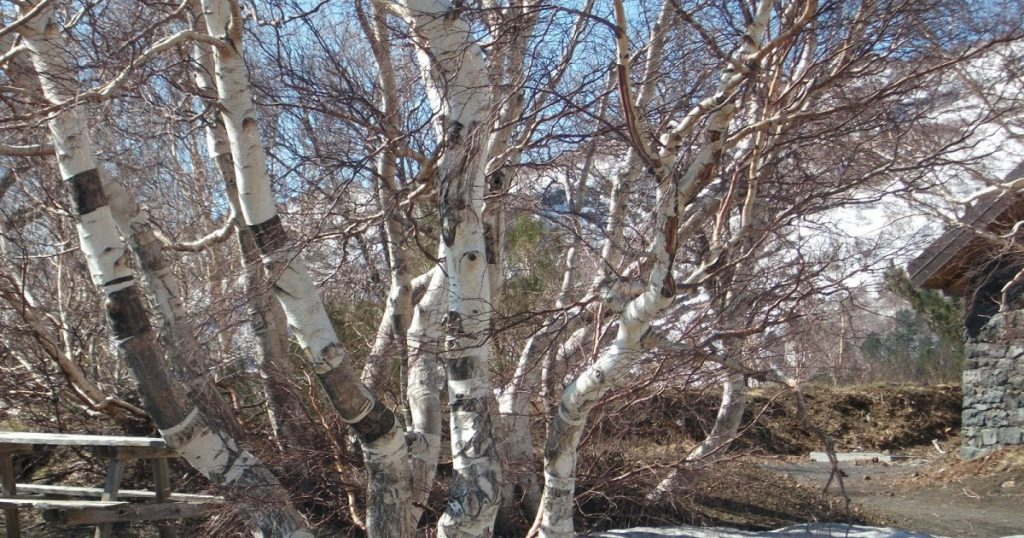 Betula Aetnensis on Etna