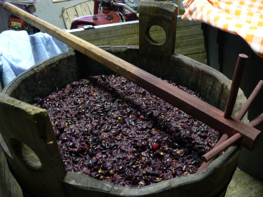 grape must ready for prepare new wine on San Martino's day